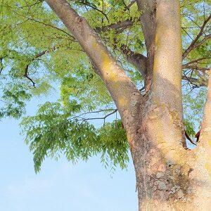 Plants Tolerant of Black Walnut Toxicity